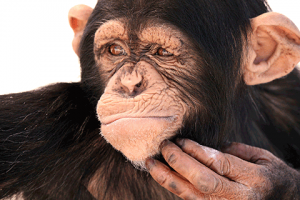 Juckreiz Symbolbild bekümmerter Affe, der sich am Kinn kratzt